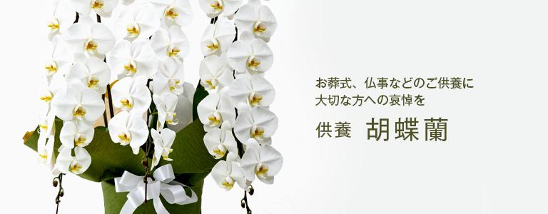 供養:胡蝶蘭