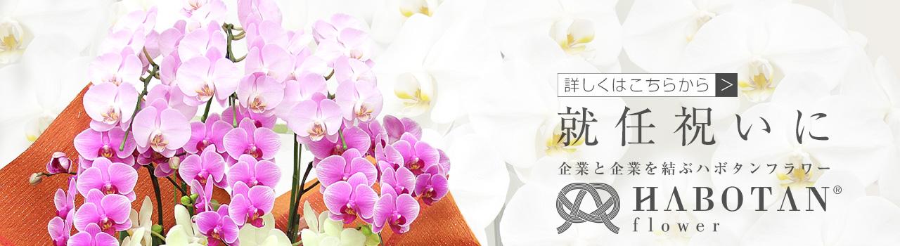 ミディ胡蝶蘭なら、法人専門贈り花 ハボタンフラワー   開店祝い、就任祝い、移転祝いなど多くのお祝いにピッタリの贈り花を大切な気持ちと共にお届け致します。胡蝶蘭やスタンド花、アレンジメントフラワーなどのお祝い用のお花から、お供え用の胡蝶蘭などの供花を取り扱っています。
