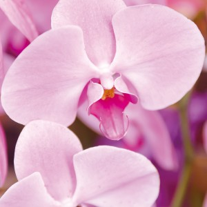 胡蝶蘭|胡蝶蘭のギフト・就任祝い・移転祝い・開店祝いなど、法人様向け贈り花はHABOTAN FLOWER(ハボタンフラワー)