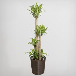 幸福の木(ドラセナ) H170×W40×D40cm 20,000円