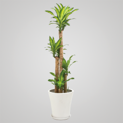 幸福の木(ドラセナ) H155×W50×D50cm 30,000円 ※鉢や大きさによってお値段が変わります。