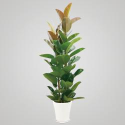 ゴムの木 H170×W60×D60cm 15,000円 ※鉢や大きさによってお値段が変わります。