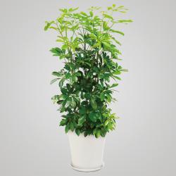 カボック  H155×W50×D50cm 15,000円 ※鉢や大きさによってお値段が変わります。